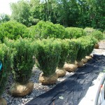 Cephalotaxus harringtonia (Fastigiate Japanese Plum Yew)